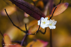 110919 DOF Autumn Defiance (wildcatlou) Tags: november lateautumn 52frames challenge depthoffield dof outdoors nature macro deciduous bloom lateblooms