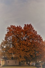 DSC08236 (3) (tomcomjr) Tags: sonyilca77m2 sal1855 fall2019 trees sky orange red gold green yellow blue white brown oak