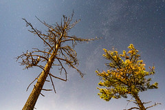 Moonlit Trees Reaching Into The Sky. (slworking2) Tags: mountlaguna california unitedstatesofamerica sandiego pines pinetrees night stars sky starry longexposure