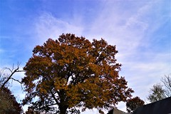 DSC08234 (2) (tomcomjr) Tags: sonyilca77m2 sal1855 fall2019 trees sky orange red gold green yellow blue white brown oak