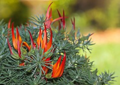 Fire and flame (WinRuWorld) Tags: plant botany flora fabaceae fabales lotusberthelotii perennial lotusvineflower parrotbeakplant coralgemplant australia nsw newsouthwales garden outside nature canon canonphotography macrophotography flowerphotography orange red dof depthoffield fireandflame spring