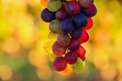 Vintage (FVillalpando) Tags: grapes autumn colours food light macro ngysa