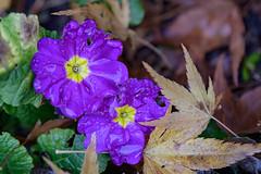 Autumn Bloom (luke.me.up) Tags: nikon z6 nikonz6 nikonmirrorless 70200 7020028e nature flora