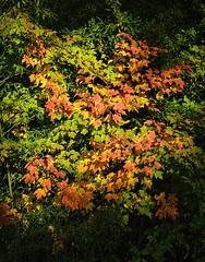 As soon as I saw this (builder24car) Tags: autumn leaves fallcolors sunlight nature thegreatoutdoors sanfordnorthcarolina