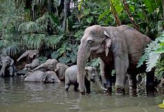 Elephants galore. (Bernard Spragg) Tags: elephants animals models lumix disneyadventurepark compactcameras beasts largeanimals themeparks cco