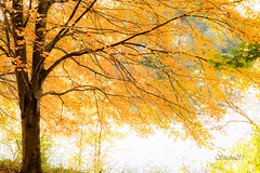 In Dreams (Studio281Photos) Tags: nature landscape autumn autumnleaves autumncolors autumntree fall fallfoliage fallcolors fallleaves lake park woods sunlight leaves gold goldenhour goldenleaves branches outstretched artistic painterly missouri nikon nikond810 tamron 2470mm