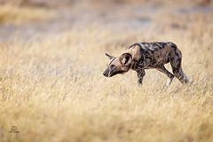 Prowling Painted Wolf (Glatz Nature Photography) Tags: africa botswana glatznaturephotography nature nikond850 wildanimal wildlife africanwilddog paintedwolf lycaonpictus dog wilddog okavango okavangodelta predator