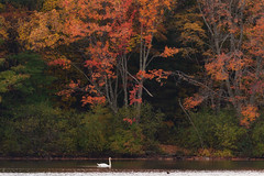 Autumn at Horn Pond (lilredlizzie) Tags: fall autumn beautiful beauty pretty massachusetts newengland nature swans outdoors travel wanderlust foliage trees colors colorful animal canon landscape bird birding peaceful