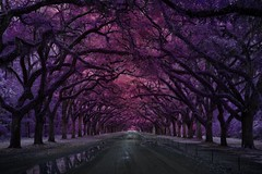 Canopy of Trees (Jon Dickson Photography) Tags: infrared georgia wormsloe plantation trees canopy colors