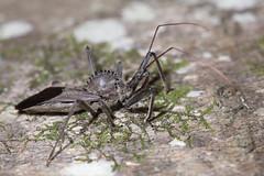 wheel bug (myriorama) Tags: wheelbug hemiptera heteroptera cimicomorpha reduviidae harpactorinae harpactorini arilus ariluscristatus liverwort