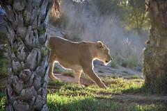 Lioness 01 (L. Charnes) Tags: animals cat lion sandiegozoo