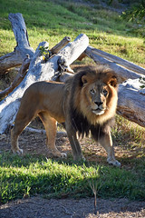 Lion 07 (L. Charnes) Tags: animals cat lion sandiegozoo