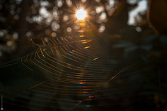 A new day (Lr Home) Tags: a6000 spiderweb sel30m35 macromondays insect spider sunlight sun morning sunrise