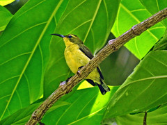 Olive-backed Sunbird (female) !! (Lopamudra !) Tags: lopamudra lopamudrabarman lopa sunbird olivebacked bird nature wilderness andaman andamanandnicobarislands neil neilisland india beauty beautiful