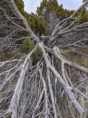 Fallen juniper. Southeast Idaho (spotwolf5) Tags: juniper