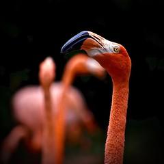American Flamingo (Phoenicopterus ruber) (Ginger H Robinson) Tags: americanflamingo flamingo phoenicopterusruber jurongbirdpark bird animal bright orange colorful plumage feather eye nomadic loud wade marinebird