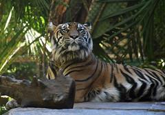 Tiger 02 (L. Charnes) Tags: animals cat tiger sandiegozoo