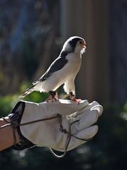 Pygmy falcon 02 (L. Charnes) Tags: bird pygmyfalcon sandiegozoo