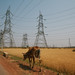 Cow Grazing Near Wheat Field & Power Lines, Lalpur India