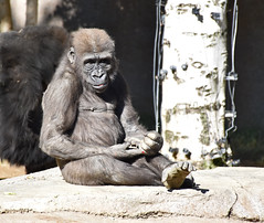 Gorilla 04 Leslie (L. Charnes) Tags: animals gorilla primate baby sandiegozoo