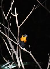 Bishop weaver 01 (L. Charnes) Tags: bird sandiegozoo