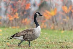 Bernache du Canada - Canada Goose (Lucie.Pepin1) Tags: oiseaux birds bernache goose nature wildlife faune fauna canon7dmarkii canon300mml luciepepin