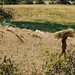 Harvesting Wheat, Nagod India