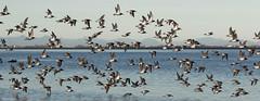 Dunlin - 094A9886a6c (Sue Coastal Observer) Tags: dunlin dunl calidrisalpina flock blackiespit flight surrey bc britixhcolumbia canada