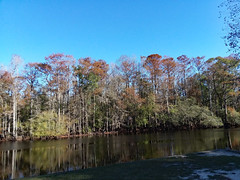 Trees Along The River. (dccradio) Tags: orrum nc northcarolina robesoncounty outdoor outdoors outside nature natural river lumberriver lumberriverstatepark princessannaccess tree trees branch branches treebranch treebranches treelimb treelimbs sunday autumn fall weekend november sundayafternoon afternoon goodafternoon bodyofwater samsung galaxy smj727v j7v cellphone cellphonepicture