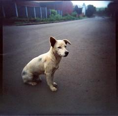 Un paseante (mavricich) Tags: perro dog calle color colores holga mascota street kodak ektachrome cross slide diapositiva lofi