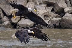 Bald Eagle Battle (Brian E Kushner) Tags: american baldeagle bald eagle fish fishing raptor wings talon beak king flying flight inflight haliaeetusleucocephalus conowingo dam conowingodam darlington md maryland d5 nikond5 bird birds bkushner wildlife animals birdwatcher ©brianekushner nikonafsnikkor800mmf56efledvrlens nikon afs nikkor 800mm f56e fl ed vr lens tc800125e tc800125eed battle fight