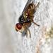 Tiny fly