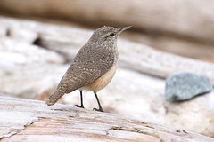 Rock Wren - Clover Point, Victoria BC