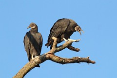 you don't say (RonTheG) Tags: bird vulture blackvulture