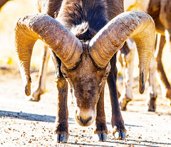 Bighorn sheep ram shows the battle scars on his horns, which can weigh up to 30 pounds.  Waterton Canyon November 10. (reid.neureiter) Tags: watertoncanyon waterton bighorn bighornsheep colorado nature