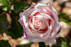 Layered (A Different Perspective) Tags: araluen australia perth botanic flower garden park pink red rose