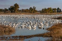 A Gaggle of Geese (Don Dunning) Tags: california canon7dmarkii canonef100400mmisiiusm nationalwildliferefuge sacramentonwr snowgeese water willows ansercaerulescenscaerulescens