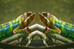 Then There Were Two (Ken Mickel) Tags: nature animals photoshop photography fineart mirrorimage chameleon reptiles specialeffects artisticeffects pantherchameleon kenmickelphotography