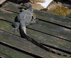 A Monitor Lizard on a Melaka canal, Melaka, Malaysia (albatz) Tags: lizard canal melaka malaysia monitor