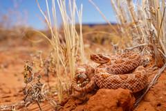 Crotalus Viridis -  My First Rattlesnake (shanicy) Tags: sony macro nature herping herpingtheglobe snake rattlesnake wildlife wildlifephotography snakes crotalus reptiles see seewildlife