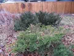 Juniper Duo Winter (daryl_mitchell) Tags: saskatoon saskatchewan canada winter 2018 garden shrub juniper