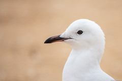 Let's see, anyone bring fish & chips? (Derek Midgley) Tags: rxt03837 seagull mordialloc