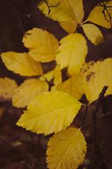 Autumn colors (Filip Kudela) Tags: leaf colors colorful yellow autumn nature canon canoneosm100 m100 efm 55200mm