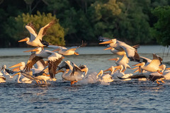 White Pelican Takeoff at Sunset (dbadair) Tags: outdoor seaside dennis adair shore sea sky water nature wildlife 7dm2 7d ii ef100400mm ocean canon florida bird