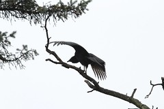drying off (RonTheG) Tags: bird vulture blackvulture