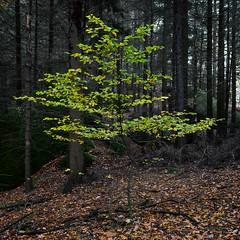 Jung und frisch (Panasonikon) Tags: panasonikon sonya7 wald forest herbst autumn grün green baum tree laub landschaft landscape quadrat square ilce7 sonyalpha sel2870