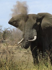 Dust for ths Mosquito's  ( elephant  /  olifant ) (Pixi2011) Tags: elephants krugernationalpark africa wildlifeafrica wildanimals animals nature