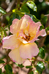 Petal pink (A Different Perspective) Tags: araluen australia perth botanic flower garden park pink red rose