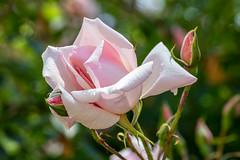 Drops (A Different Perspective) Tags: araluen australia perth botanic flower garden park pink red rose