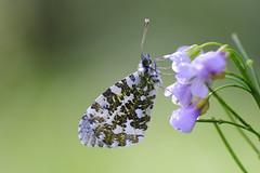 Aurore un printemps... (jpto_55) Tags: papillon aurore papillonaurore proxi bokeh xt20 fuji fujiflim kiron105mmf28 kironlens hautegaronne france